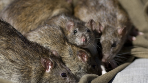 Rats Appreciate Your Hospitality